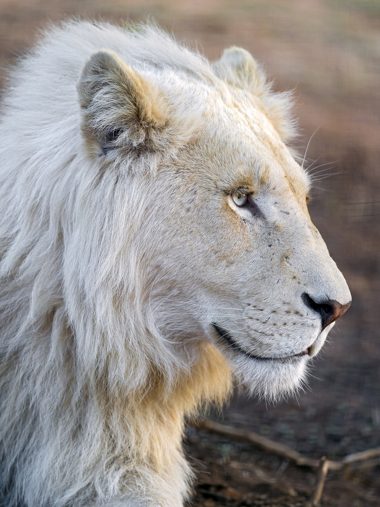 A majestic young white lion