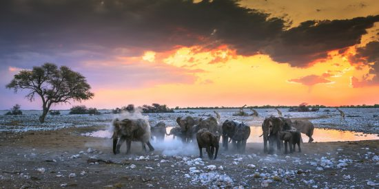 Elephants enjoying a sand bath at sunset and some giraffe in the background