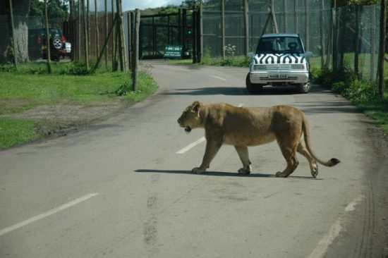 A lion on road