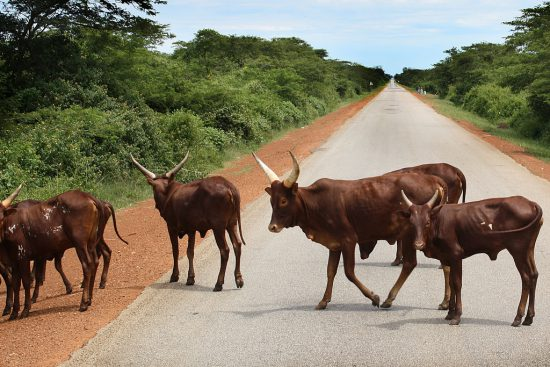 nguni cows in the road