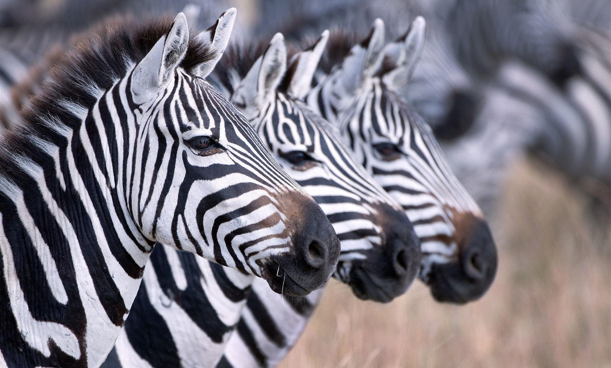 zebras standing in line