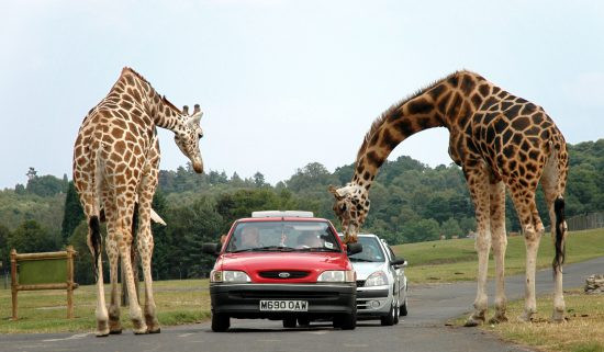 Giraffes peeking into car window