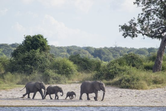 elephants drink on chobe river