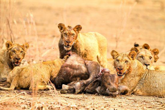 Ein Rudel Löwinnen fressen einen Büffel