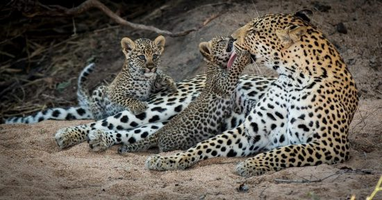 A mother leopard gives her cub a bath