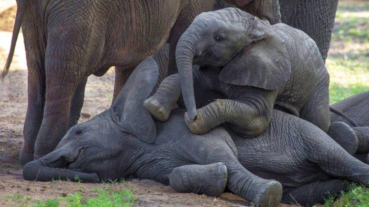 Elefantes bebés jugando