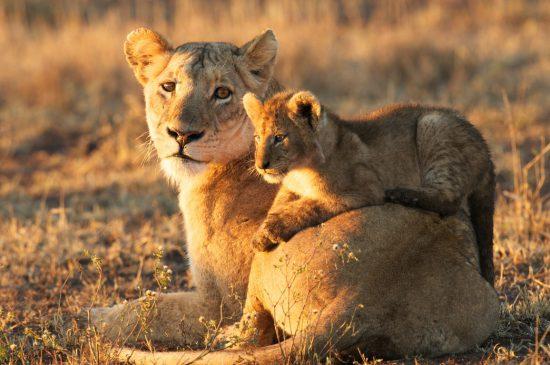 A lion cub lies across his mother's back