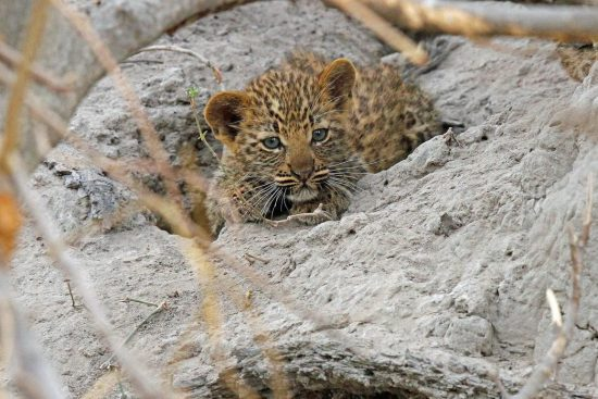The cutest leopard cub snuggled on a rock
