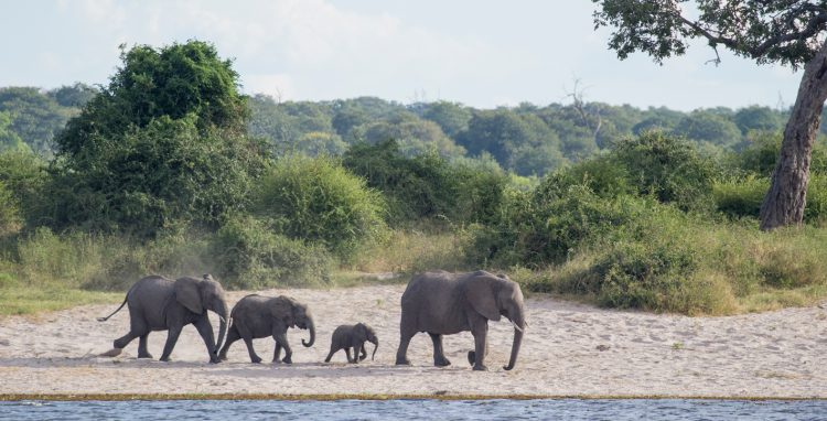 An elephant herd going for a drink in Chobe National Park, Botswana.