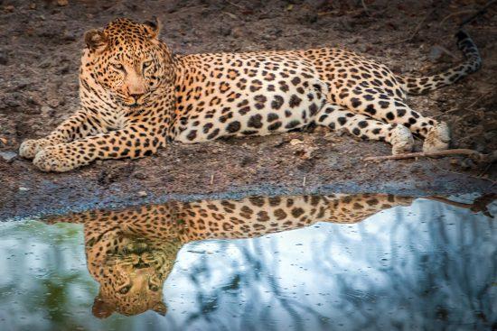 Leopardo à beira d'água