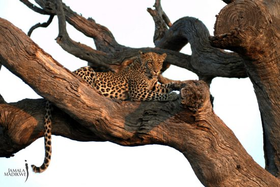 Leopard lounges in tree