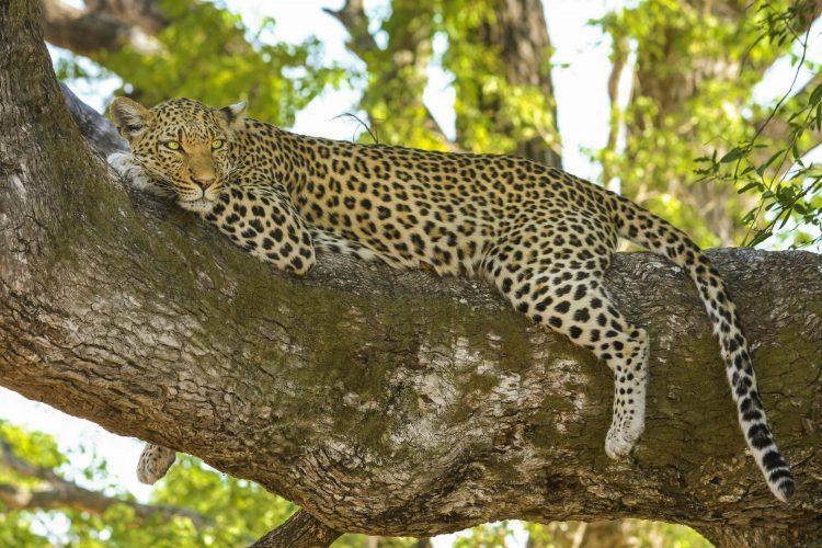 Leopardo descansando en un árbol