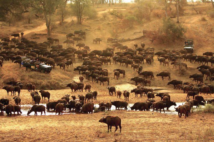 Una manada de búfalos junto al río