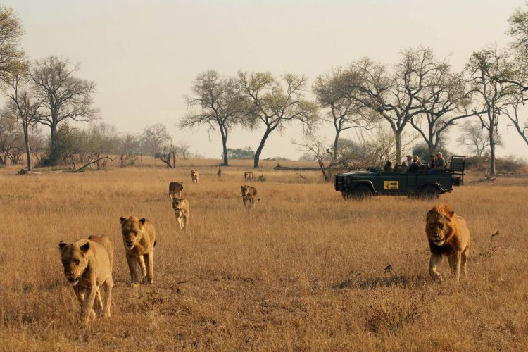 Leones frente a un vehículo de safari