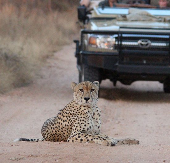 Cheetah in the road
