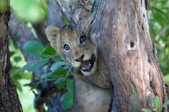 Cute Lion cub in tree smiling