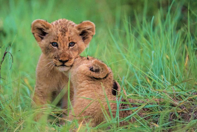 Cachorros de león en una reserva privada del Kruger