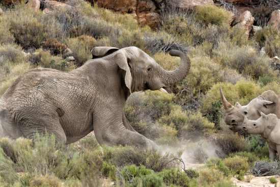 Hanspeter elephant charges rhino mom and baby