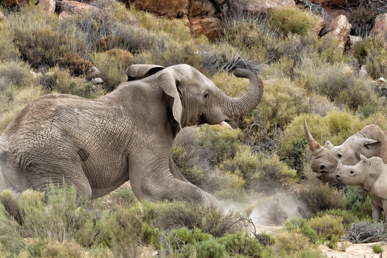 Elefante vs Rinoceronte