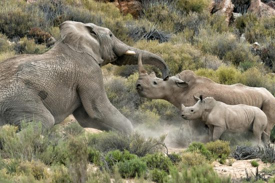 Elephant bull charges at rhino mom and baby