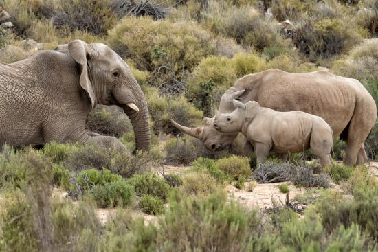 Elephant bull charges Rhino mom and baby