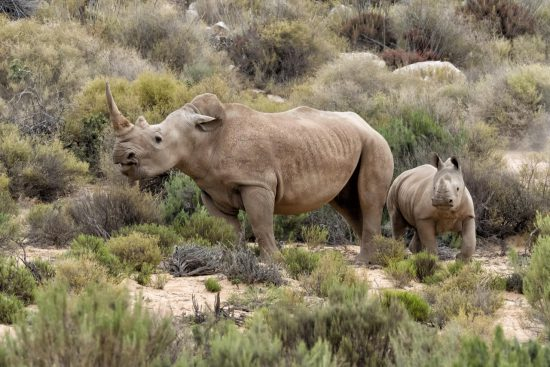 hanspeter rhino mom and baby