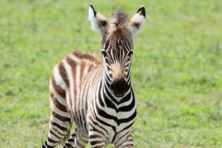 Junges Zebra mit flauschiger Mähne vor grünem Gras