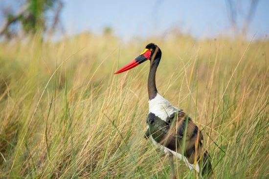 Saddle stork in the long grass