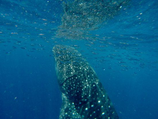 Dive iwth whale sharks in Madagascar