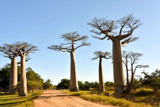 Baobab Alley in Madagascar