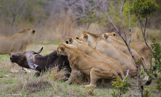 6 Lions to 1 Buffalo kill