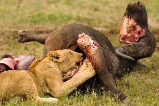 Lion kills buffalo
