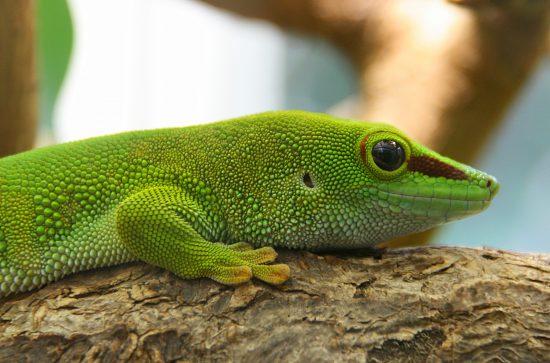 A close-up of the Madagascar Green Gecko