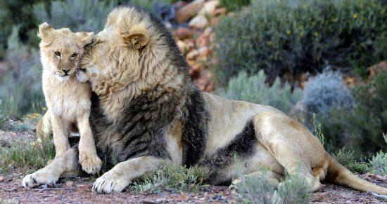 Père lion frottant son lionceau avec son museau, famille d'animaux sauvages.