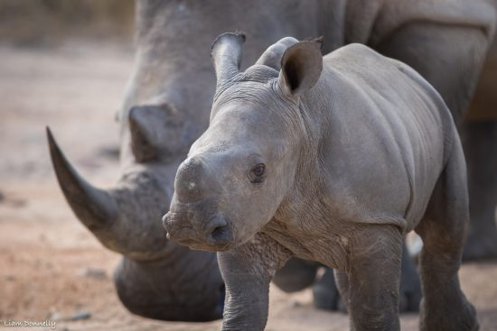 A young rhino with protective mother behind