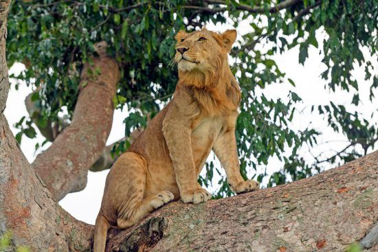Young male lion sitting in a tree in the African bush