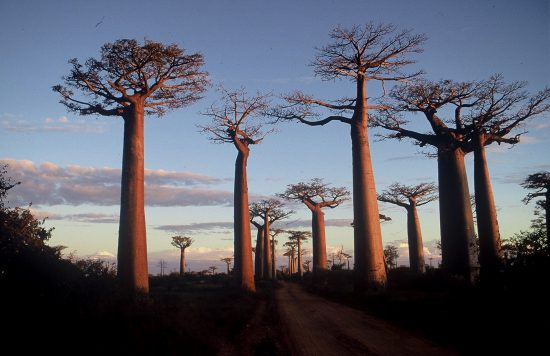 The Baobab trees are one of the oldest