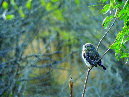 A pearl-spotted owl