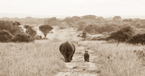Rhino walking with baby