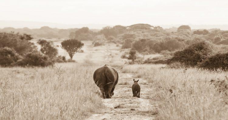 Rhinocéros marchant vers un meilleur futur après la disparition du dernier mâle rhinocéros blanc du Nord