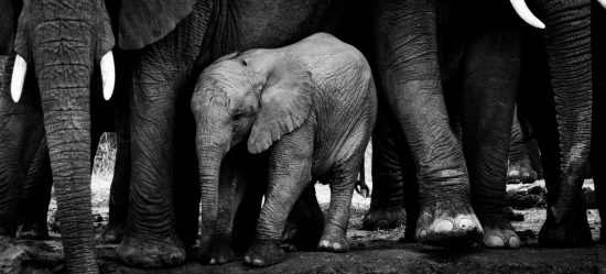 A elephant calf stands close to the long legs of the herd