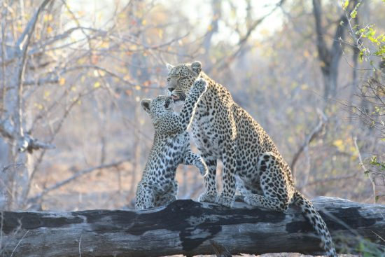 Leopard cub playfully swipes at his mother