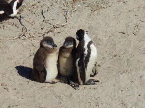 Manchot du Cap adulte et deux adolescents à Boulder's Beach, Afrique du Sud