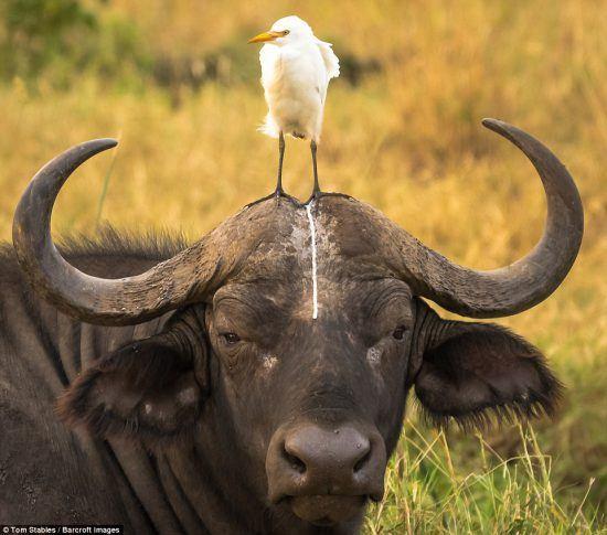 Un búfalo junto a su inseparable garcilla