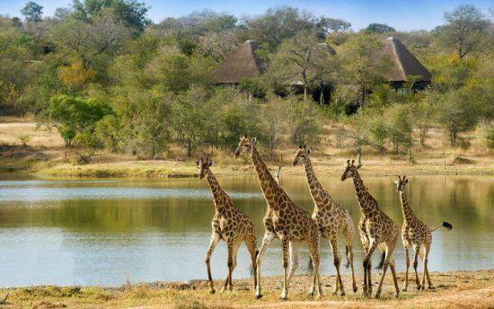 Giraffes walking together by a waterhole