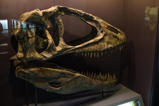 A dinosaur skull at one of Cape Town's museums