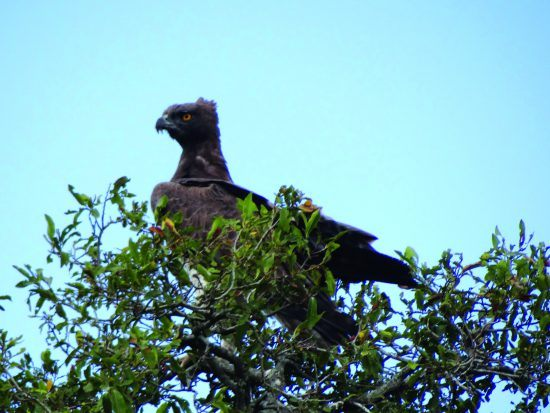 A Crowned eagle perched high in a tree