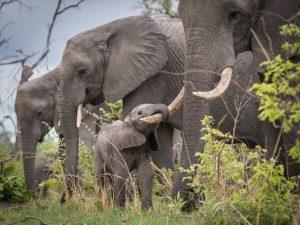 Los elefantes son parte de los Cinco grandes