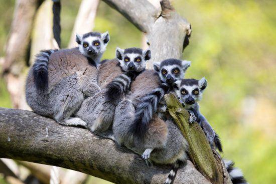 Vier Lemuren sitzen auf einem Ast