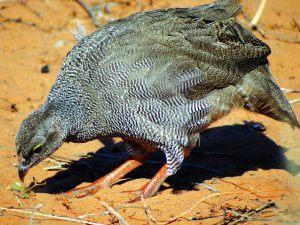 red-billed spurfowl